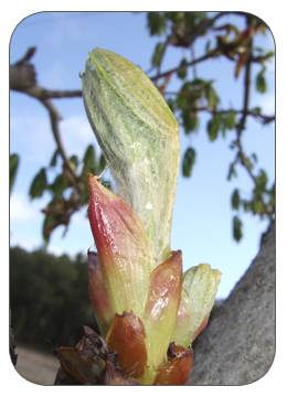 Chestnut Bud: el gran integrador